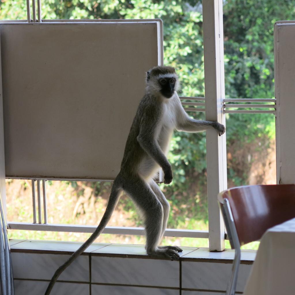 Monkey at hotel