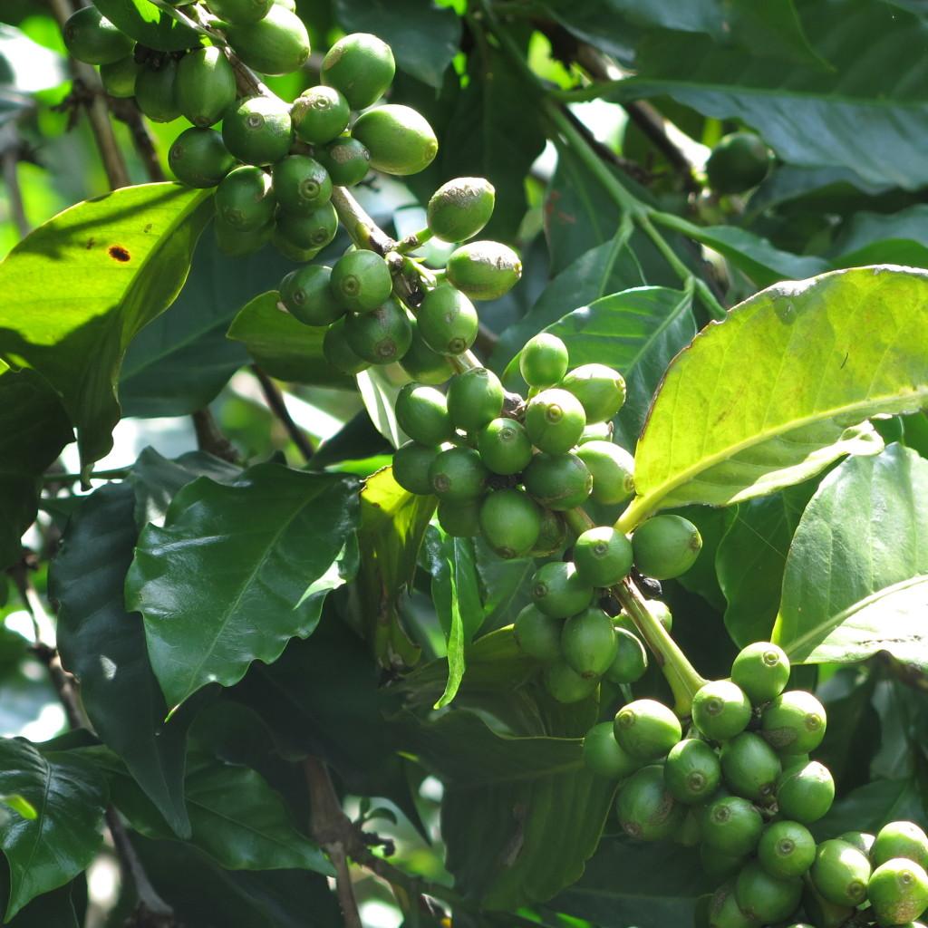 Coffee tree Rwanda