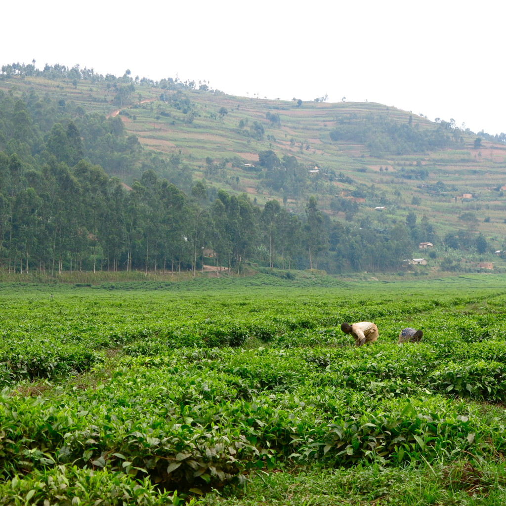 Tea pickers Rwanda