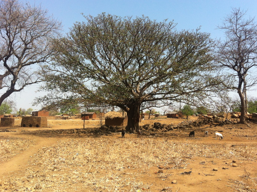 kachere tree malawi