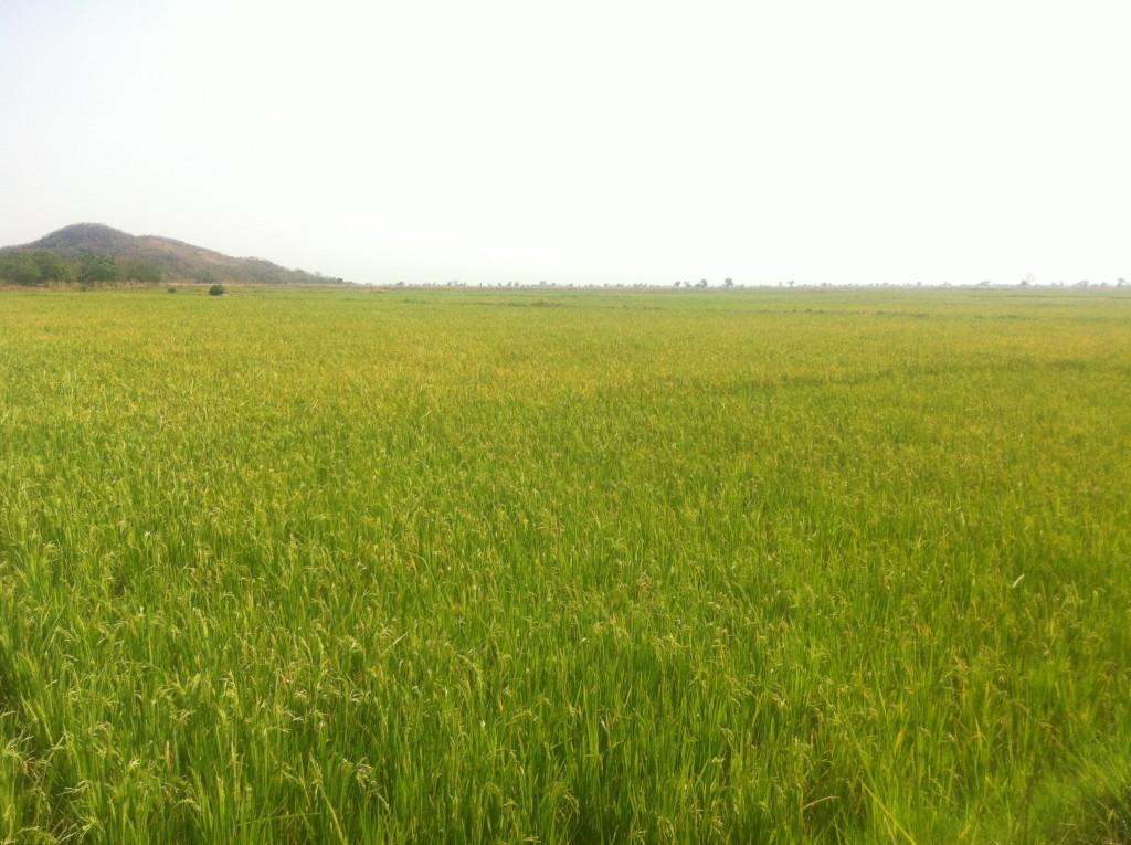 Rice Field Malawi