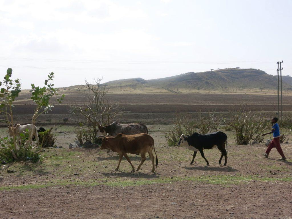 Ethiopian livestock